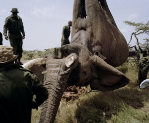 elephant relocation # III, ol pejeta conservancy, northern kenya-from the series 'with butterflies and warriors'-David Chancellor