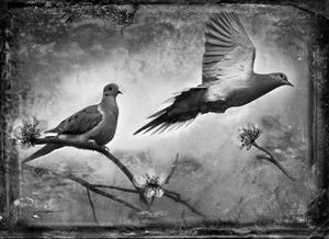 © Dianne Yudelson Mourning Doves