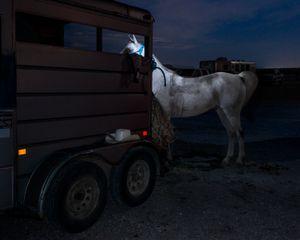 Arabian Horse and Trailer