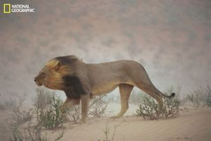 "A lion pushes through a dust storm in Kalahari Gemsbok National Park, South Africa. The weather had worsened to the point that it didn't notice the photographer's approach. ""I shot three rolls of him and just one picture turned out—serendipity,"" says Johns. From the October 125th anniversary issue of National Geographic magazine © Chris Johns/National Geographic"