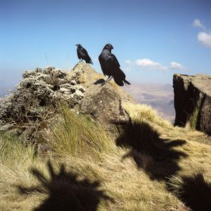 Ravens of the Simien Mountains
