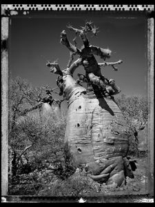 Baobab 22 Madagascar 2010 © Elaine Ling