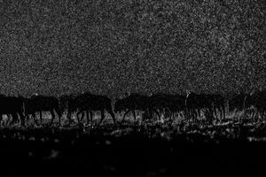 """""""I was in Liuwa Plain at the end of the dry season. When the rains finally arrived thousands of Wildebeest migrated to the area. I positioned a remote flash in front of the herd and drove round so that I could use the flash to back-light the rain. It was a challenging shot as I had to predict the movement of the animals and hope they passed between me and the flash."""