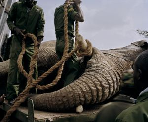 elephant relocation # VI, ol pejeta conservancy, northern kenya-from the series 'with butterflies and warriors'-David Chancellor
