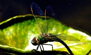 Pinao, Hawaiian Dragonfly