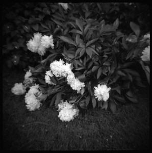 My Mother's Peonies, Madison Mills, VA