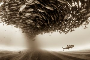 """""""Mexico, Baja California, Sea of Cortez. A big school of Jacks forming a ceiling found at the protected marine area of Cabo Pulmo"""". From the Series """"Silent Kingdom"""". Since childhood, I have been attracted to the sea."""