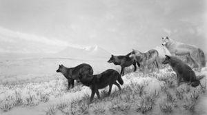 Alaskan Wolves, 1994 © Hiroshi Sugimoto, Pace/MacGill Gallery