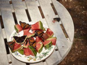 Monarch Butterflies and Watermelon