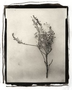 Botanical Specimen with Salt (Branch No. 1) © Claire A. Warden