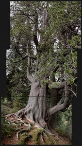 Pinus Cembra. about 750 yrs.