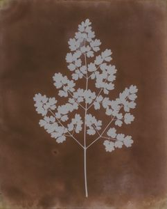 Thalictrum minus (lesser meadow-rue), probably early 1839 © William Henry Fox Talbot. Courtesy Hans P. Kraus Jr. Photo London 2018, Sun Pictures Then and Now – Talbot and his Legacy Today. Photo London Talks - Thursday 17 May 201812:30 pm - 1:30 pm.