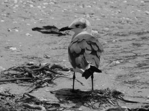 Seagull on Sanibel Island 1