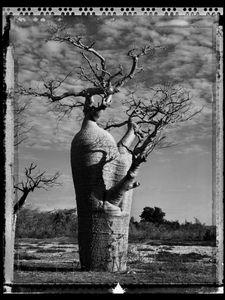 Baobab 31 Madagascar 2010 © Elaine Ling