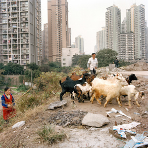 Herders in dowtown Chongqing