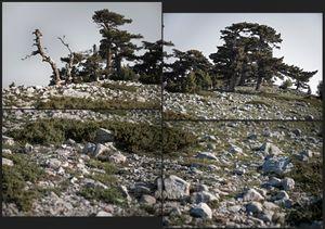 Pinus Leucodermis. about 500 yrs.