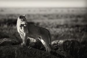 """""""Lioness I."""" A lioness in watching the great migration an early morning in Serengeti, Tanzania."""