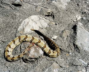 Headless snake in a contaminated site. POCA RIVER BASIN, WEST VIRGINIA. 2012