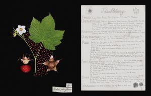 Family: Rosaceae. (Rubus parviflorus) Thimbleberry
