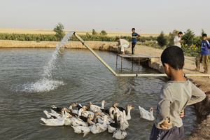 An aquaculture, where IDPs (internally displaced persons) from Jarallah village can farm fish to sell in Dibaga. The aquaculture belongs to the owner of the farm who has given it to the IDPs to look after. 04/07/2015.