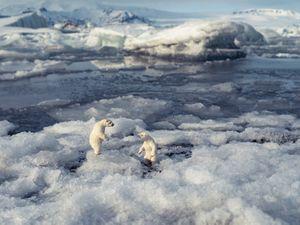 Polar Bears, Jökúlsárlon Iceland