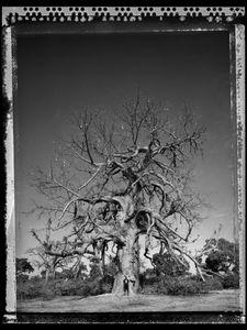Baobab 09 Mali 2008 © Elaine Ling