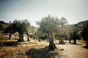 Since 2001. Israel through its military and settlers in the West Bank and Gaza, has uprooted, burnt and destroyed more than 548,000 olive trees that belong to Palestinians. The uprooting of the ancient olive trees, as a byproduct of war, has had tremendous effects on the Palestinian agriculture, economy, and identity. June 2011 © Lars Håberg