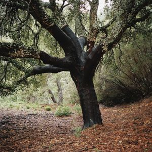 Cork oak tree, Sierra del Hacho, Spain, 2013 © Antoine Bruy