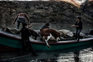 Hector Vargas and his family try to transport a cow and her calf in a boat to cross Lake Bertrand. The gauchos let the cattle during 5 days in order to bring them to other feeding grounds, sleeping outside at temperatures under 0°.