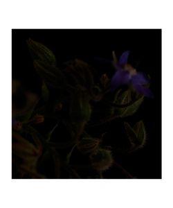 Borago officinalis © Fleur Olby