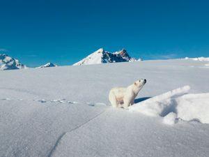 Polar Bear, Klosters Switzerland