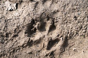 Wolf print in Greece's Pindos Mountains
