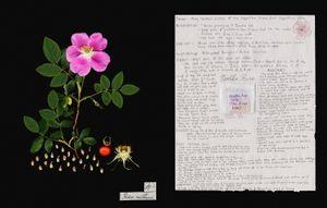Family: Rosaceae. (Rosa nutkana) Nootka Rose