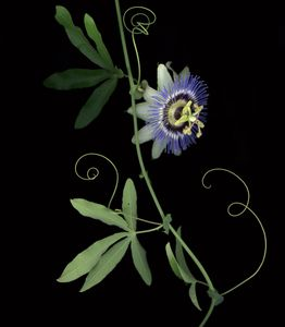 Passion flower and vine