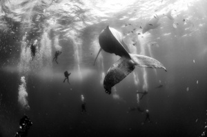 Divers observe and surround a humpback whale and her newborn calf whilst they swim around Roca Partida in the Revillagigedo Islands, Mexico, 28 January2015.