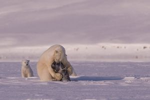Polar bear raw predation