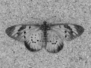 Sand Butterfly