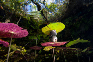 Water plants, snail and reflections at Cenote Dos Ojos