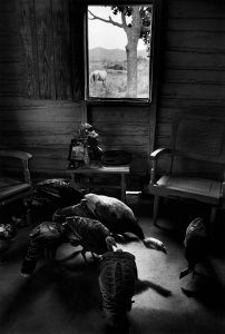 Pavos in sala © Susan S. Bank