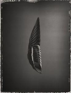 Mallard Wing, Anas platyrhynchos