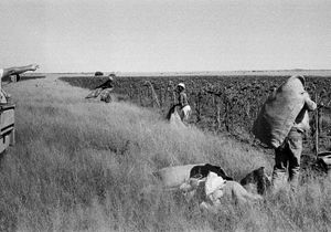 Sunflowers harvest, Vaalrand farm, Bloemhof, 1988 © Santu Mofokeng, courtesy of Huis Marseille