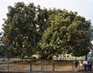 "San Diego 1915 World's Fair, ""Panama-California Exposition,""Moreton Bay Fig Tree"