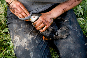 A biologist collecting puffins from their burrows for examination and to gauge feeding success on the isle of May, part of a wider North sea study that also includes the Shetland isles, further north.