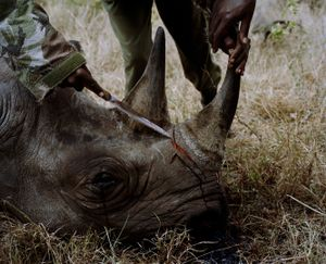 rhino # IV, killed by poachers, lewa conservancy, northern kenya-from the series 'with butterflies and warriors'-David Chancellor
