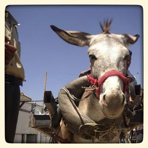 A working donkey in Za'atari refugee camp