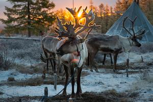 Reindeer at Sunrise