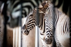 Grévy's Zebras