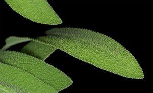 Sage leaf detail