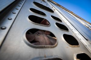 Pig Going to Slaughter - Canada