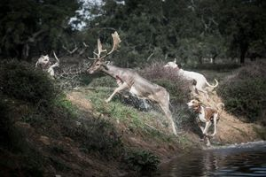 Dogs in pursuit of a deer. © Antonio Pedrosa